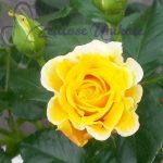 als Dankeschön eine gelbe Rose